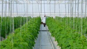 В Шымкенте увеличивают объём тепличного комплекса